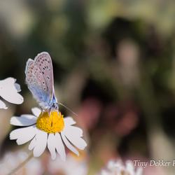 Icarusblautje bovenop een Margriet