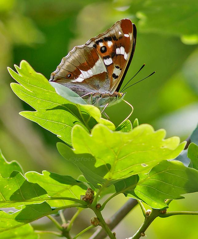 weerschijnvlinder
