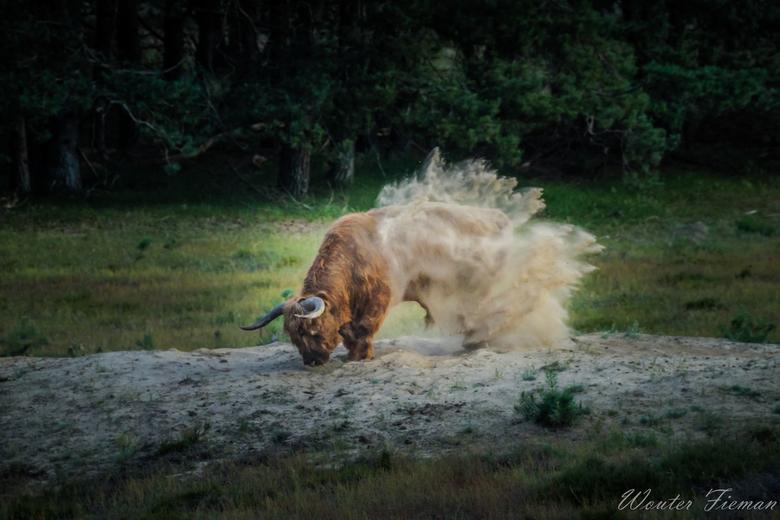 Stuivende Highlander -