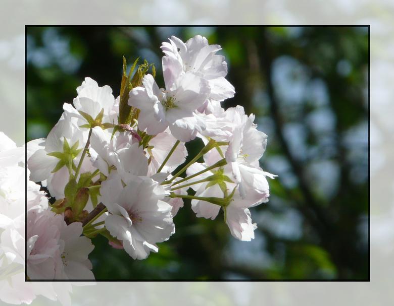 Bloesem - De bomen staan weer mooi in bloei.<br /> de rotzooi wat er later afvalt moet je maar voor lief nemen als je hier aan denkt