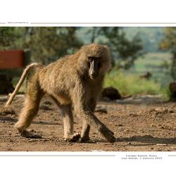 Savanna Baboon, Kenia