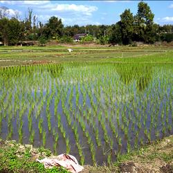 Rijstverbouwen 1 1701258497mnw