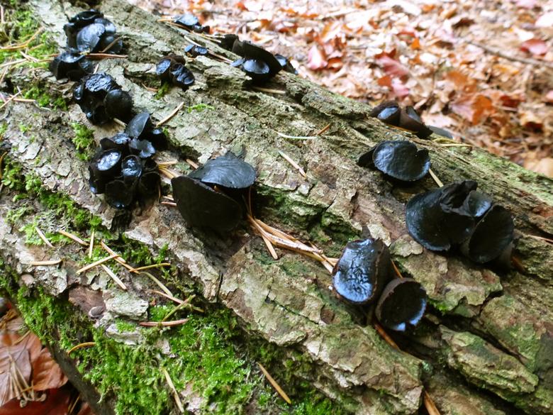zwarte knoopzwam (volwassen) - De zwarte knoopzwam is te vinden op dode Loofhouttakken en stammen van berk, beuk en es. Als ze jong zijn, zijn het bru