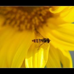 Zonnebloem met insect