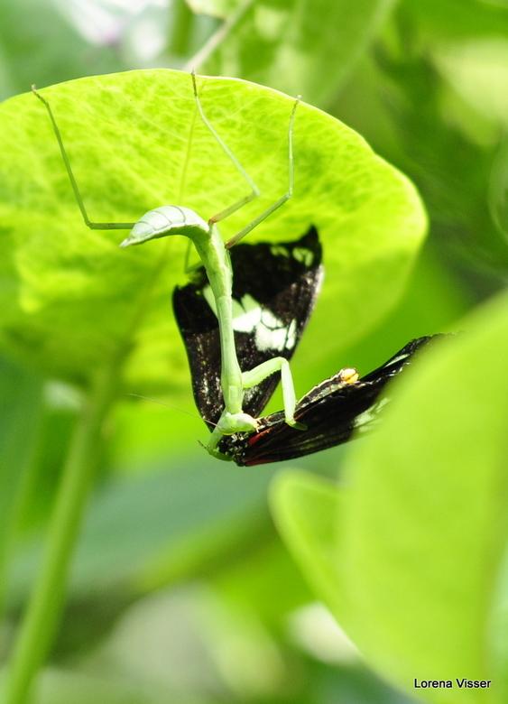 Lekker hapje!! - Raar tafereeltje in de vlindertuin van Artis. Jammer genoeg was de vlinder die hier het onderspit delft.