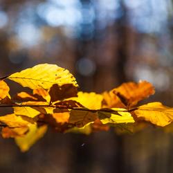 herfsttak van een beukenboom