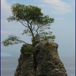 """bonsaiboom""op echte rots"