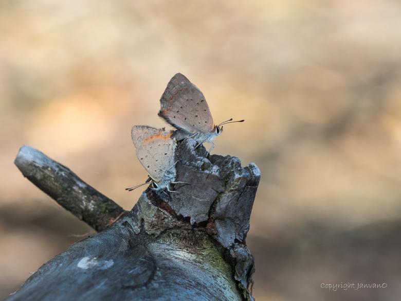 Vuurvlindertjes  overleven op dood stuk hout.