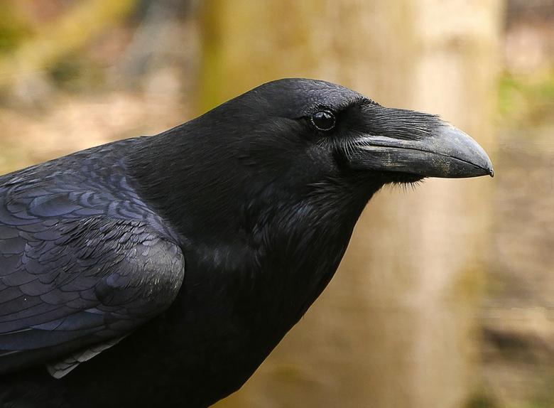 Raaf - Raven zijn vanwege hun kleur moeilijk te fotograferen. Dat is tenminste mijn ervaring, maar nu had ik er toch een te pakken. Foto is door het g