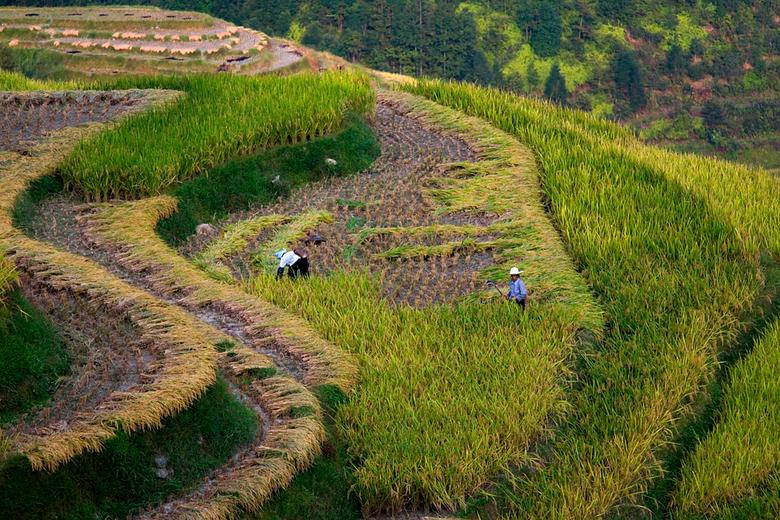 Rijstterrassen Ping'an - Werken op de rijstterrassen bij Ping'an