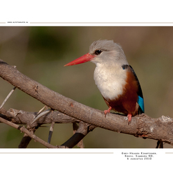 Grey-Headed Kingfisher, Kenia