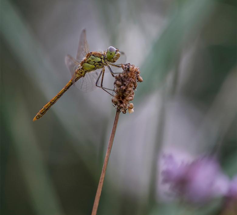 dreaming dragonfly - Deze heidelibel in dromenland heb ik alweer bijna een maand geleden op de foto gezet in de Appelzak, kort voor de vorige zoomdag
