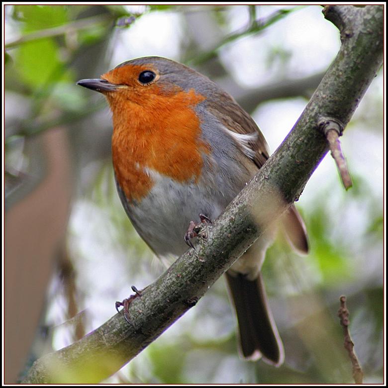roodborstje - Even koffie drinken in de tuin, maar wel met m&#039;n camera binnen handbereik; je weet maar nooit ....<br /> Er zitten weer twee roodb