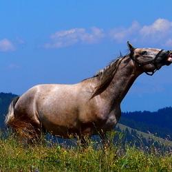 Lipizaner Paard