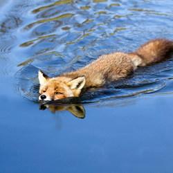 Zwemmende vos - compleet