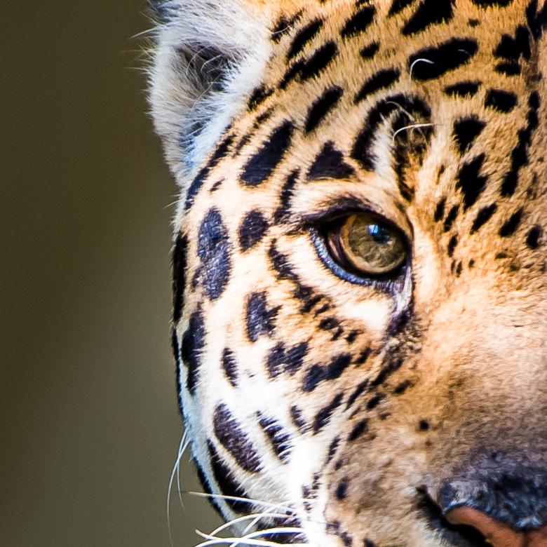 Eye see you  - Een close-up van een jachtluipaard.