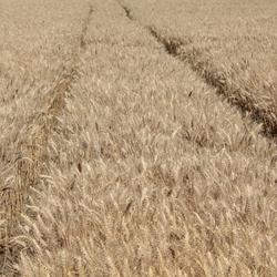 Sporen in het tarwe
