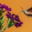 Kolibri-vlinder (Zd. Limburg)