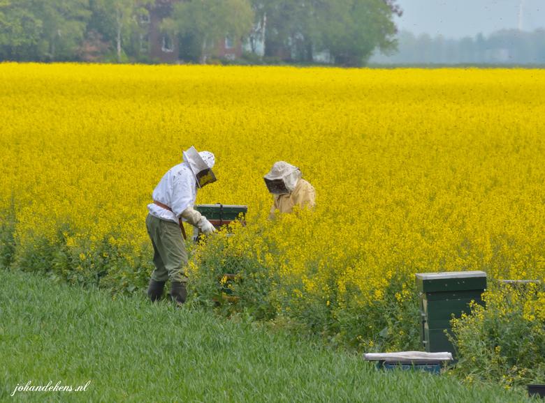 Koolzaad met bijenimkers - Bijenimkers druk bezig met het controleren van de bijenkasten in Oldambt Noord-Oost Groningen.