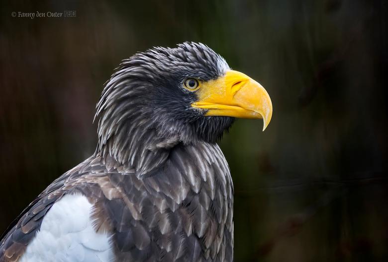 Steller's Sea Eagle / Haliaeetus pelagicus - Deze zwartachtig bruine roofvogels hebben een gele snavel. De veren op de staart, schouders en poten zijn