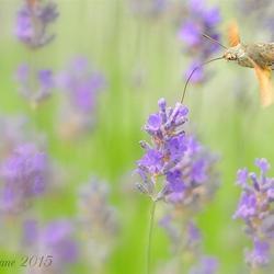 Kolibrievlinder (2)