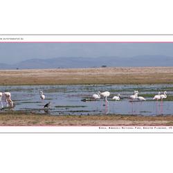 Greater Flamingo 1, Kenia