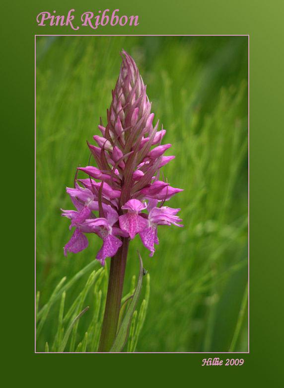 Pink Ribbon - Deze wilde Orchidee had ik nog in m&#039;n archief , lijkt me wel een mooie voor de Pink Ribbon actie .<br /> Bedankt voor de fijne rea