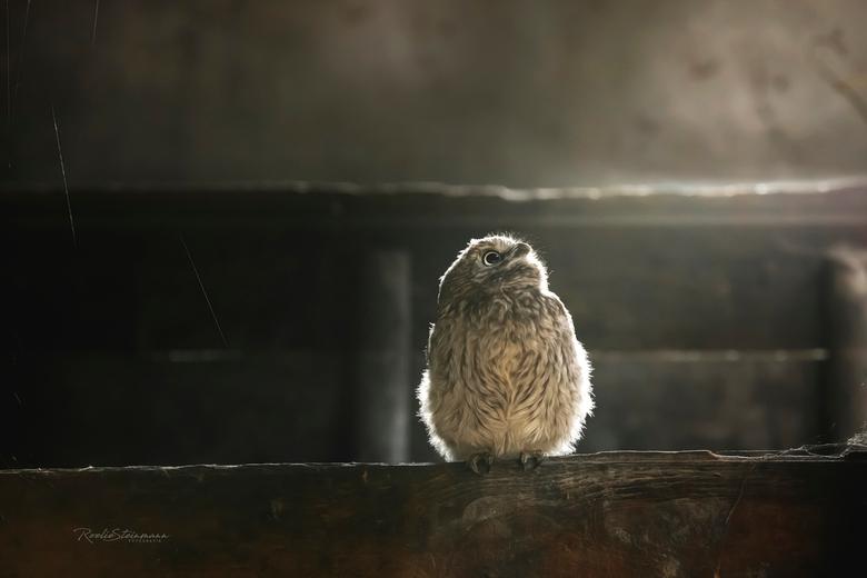 Little owl in painterly light - Het kleine steenuiltje zat hier prachtig in het licht wat door het stalraampje valt. In dit oude schuurtje met het str