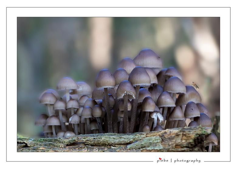 "Paddenstoelen - In het bos van Oranjewoud trof ik deze prachtige groep paddenstoelen aan.<br /> <br /> Groet  <a href=""http://www.piebevandenberg.nl"