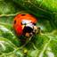 lieveheersbeestje versus bladluis