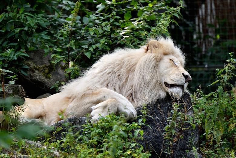 The Lion sleeps tonight . . . - Shhhhstttt . . . laat maar lekker slapen . . . die wil je niet wakker maken !!!