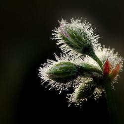 Sprankelende geraniumknoppen