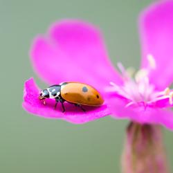 pink bloempje