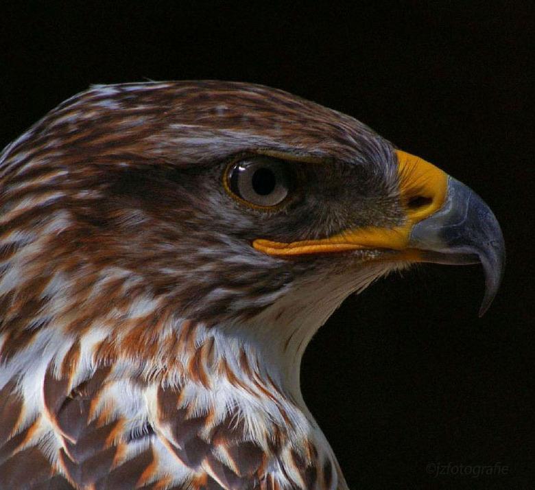 Scherpe blik - Close-up van een mooie roofvogel genaamd &quot; de Koningsbuizerd &quot; zijn de kop en snavel niet prachtig.<br /> <br /> Zoomers be
