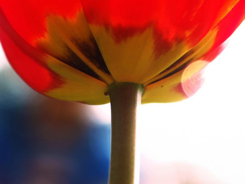 tulp - rode tulp