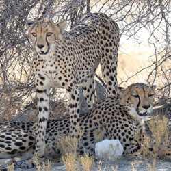 IMG-cheeta