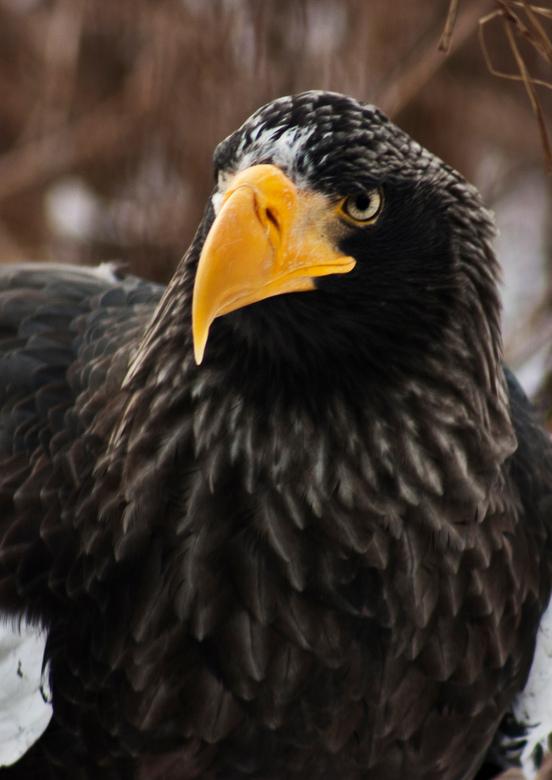 Steller-zeearend - Machtig mooie vogel om te zien. Deze is te bewonderen in Diergaarde Blijdorp.