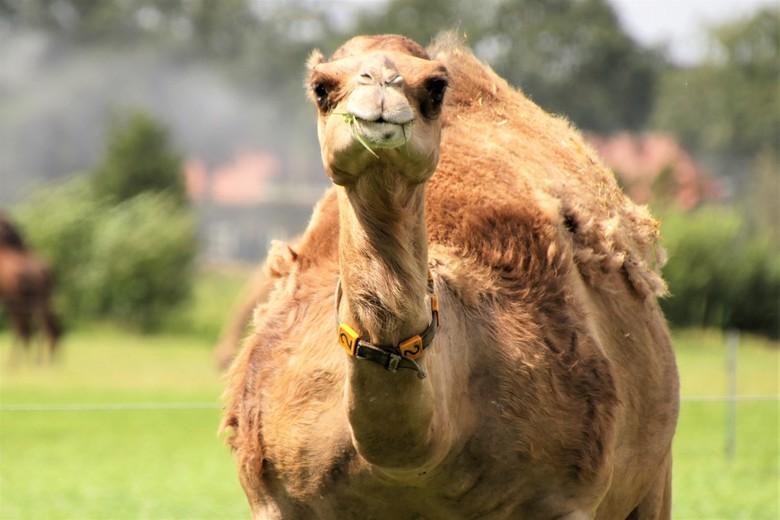 kameel. - deze kameel heeft het naar haar zin op de berlicumse boerderij en geniet van een hapje vers gras<br /> 8-8-2019