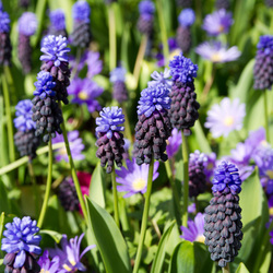 veld met blauwe druifjes