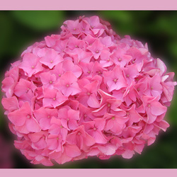 Gewoon rose