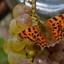Snoepgoed voor vlinders