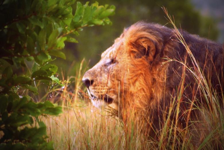 the king of the jungle (1) - Op een regenachtige ochtend in Pilanesberg om 6 uur opstaan en dan deze koning ontmoeten in het gras. Prachtig moment....