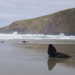 Zeeleeuw op het strand