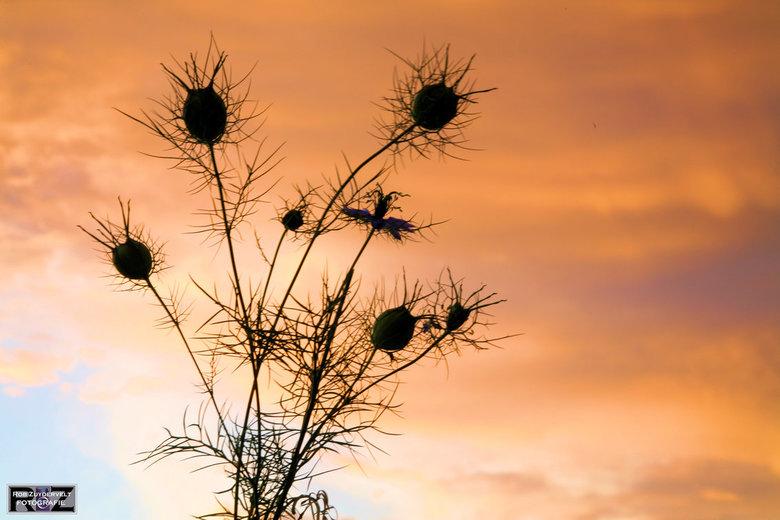 herfst tegenlicht  - Distel bij zonsondergang
