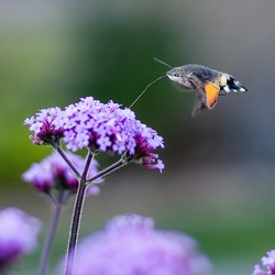 Kolibrie vlinder