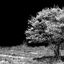 krentenboom in bloei