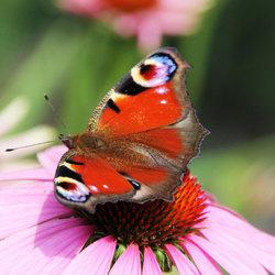 vlinder1azmDEF.jpg