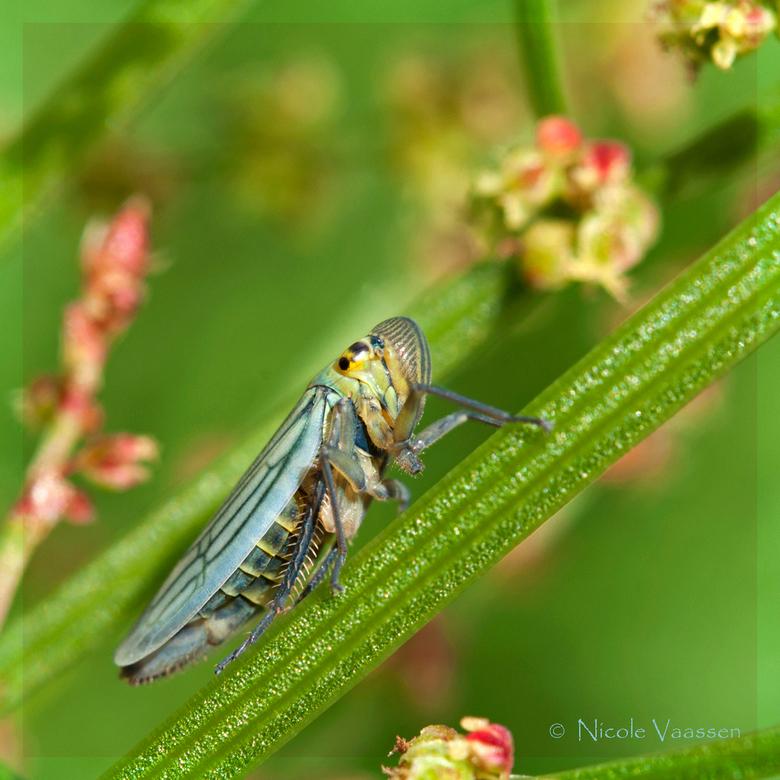 groene cicade - Prachtig beestje, lastig er op te krijgen, maar ik vond het zelf toch wel een plaatje geworden.......