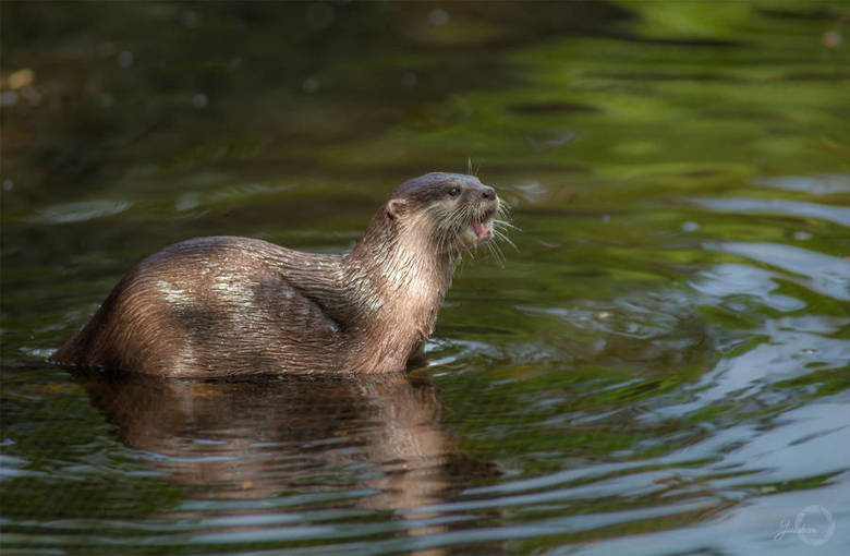 Asian Small-Clawed Otter - Aonyx Cinerea -