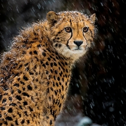 Cheeta in de Sneeuw